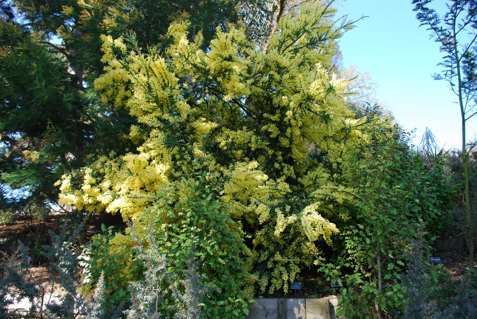 Acacia Pravissima Emerald Plants