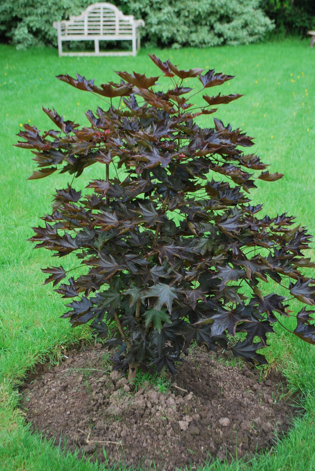 Acer Platanoides Crimson Sentry Emerald Plants
