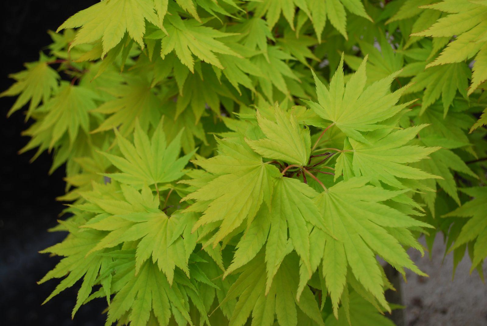 Acer Shirasawanum Jordan Emerald Plants