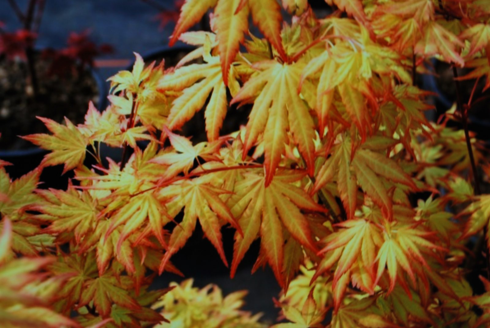Acer Palmatum Orange Dream Emerald Plants