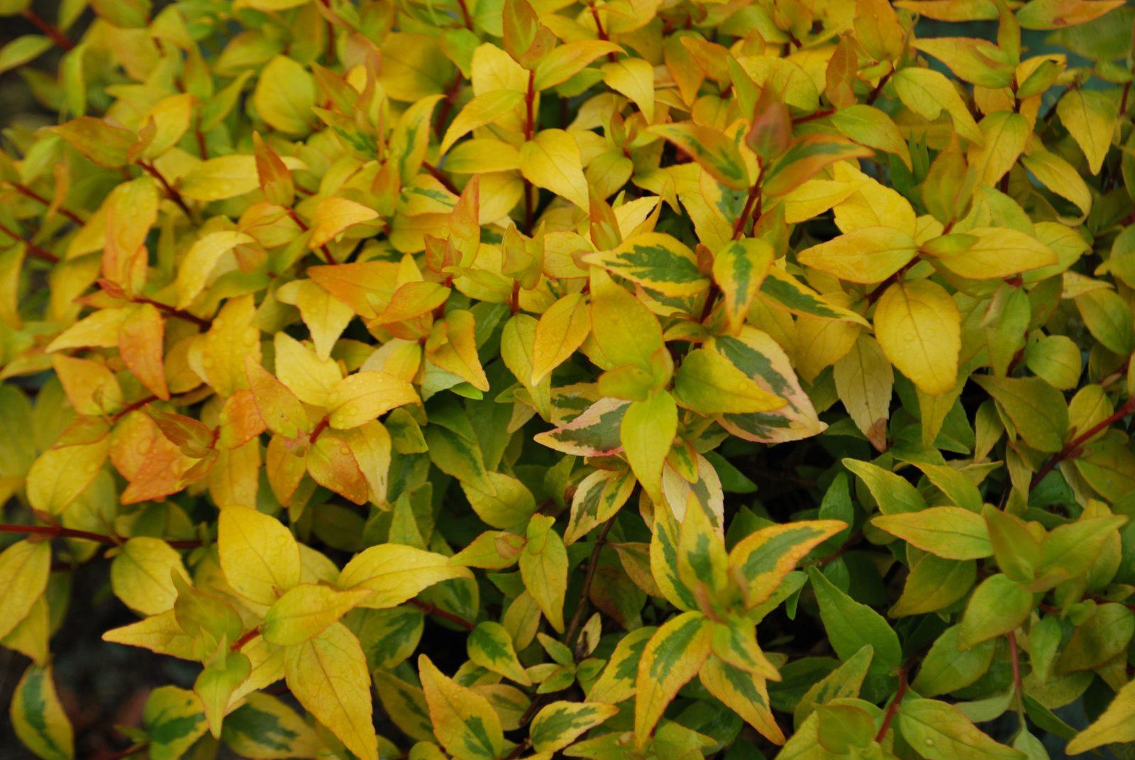 Abelia X Grandiflora Kaleidoscope Emerald Plants
