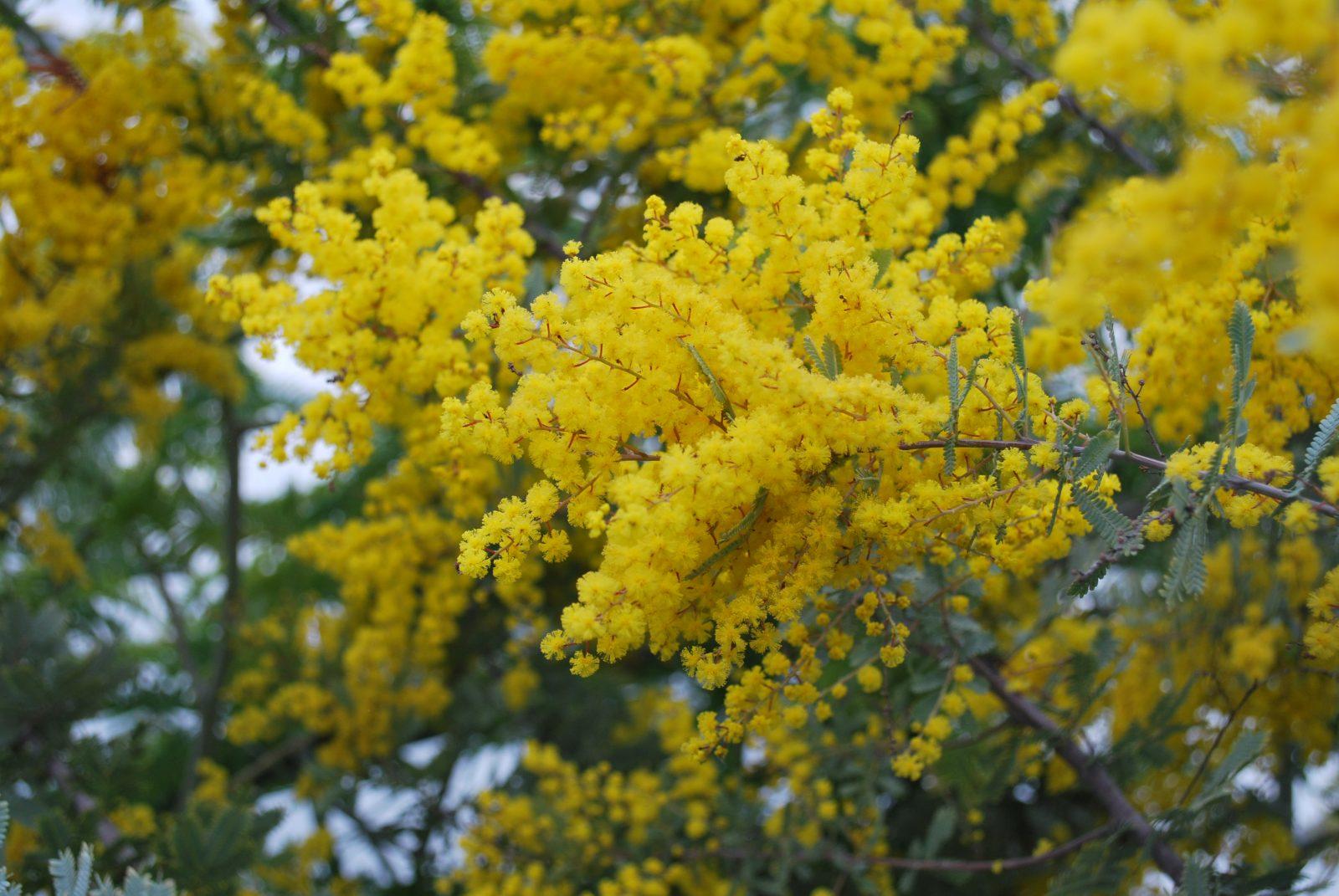 Acacia Baileyana Emerald Plants