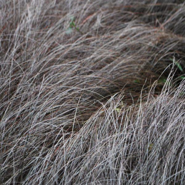 Carex Buchananii Firefox