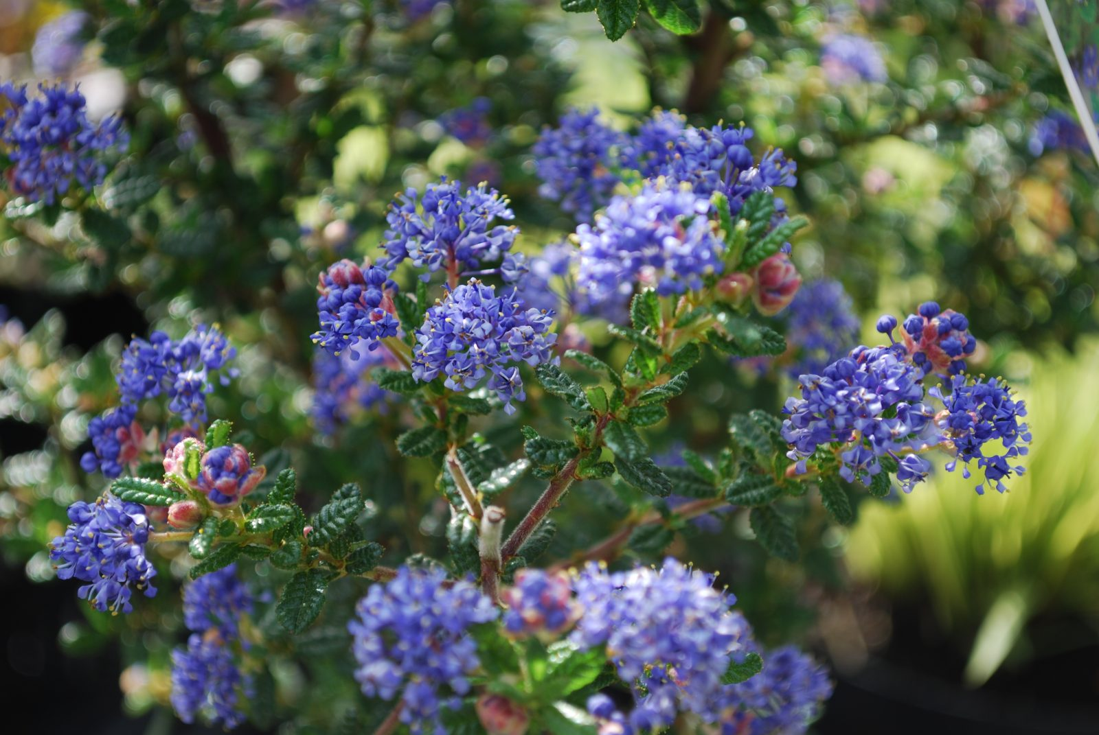 ceanothus pugets blue emerald plants. Black Bedroom Furniture Sets. Home Design Ideas