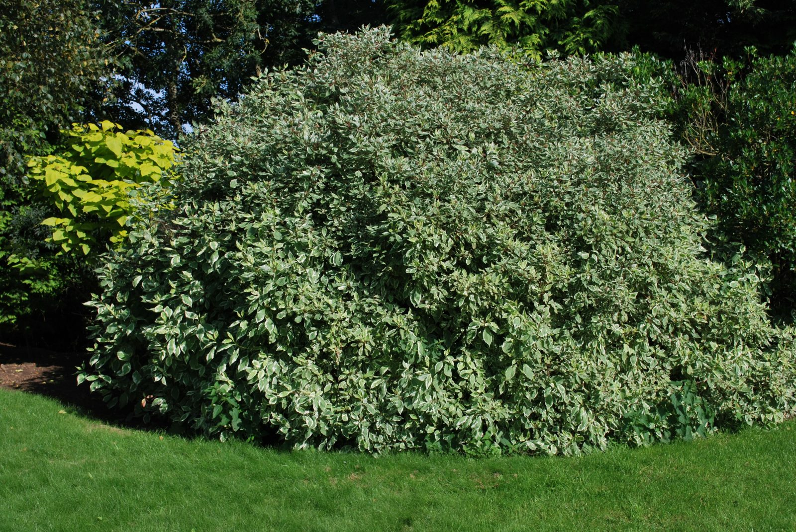 cornus alba 39 elegantissima 39 emerald plants. Black Bedroom Furniture Sets. Home Design Ideas