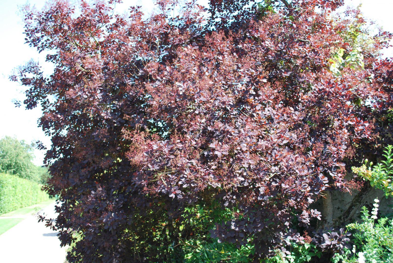 Cotinus Coggygria 'Royal Purple' | Emerald Plants