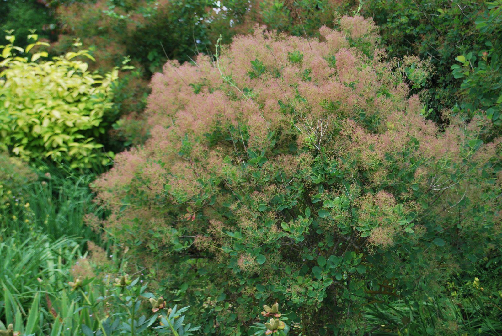 Cotinus Coggygria | Emerald Plants