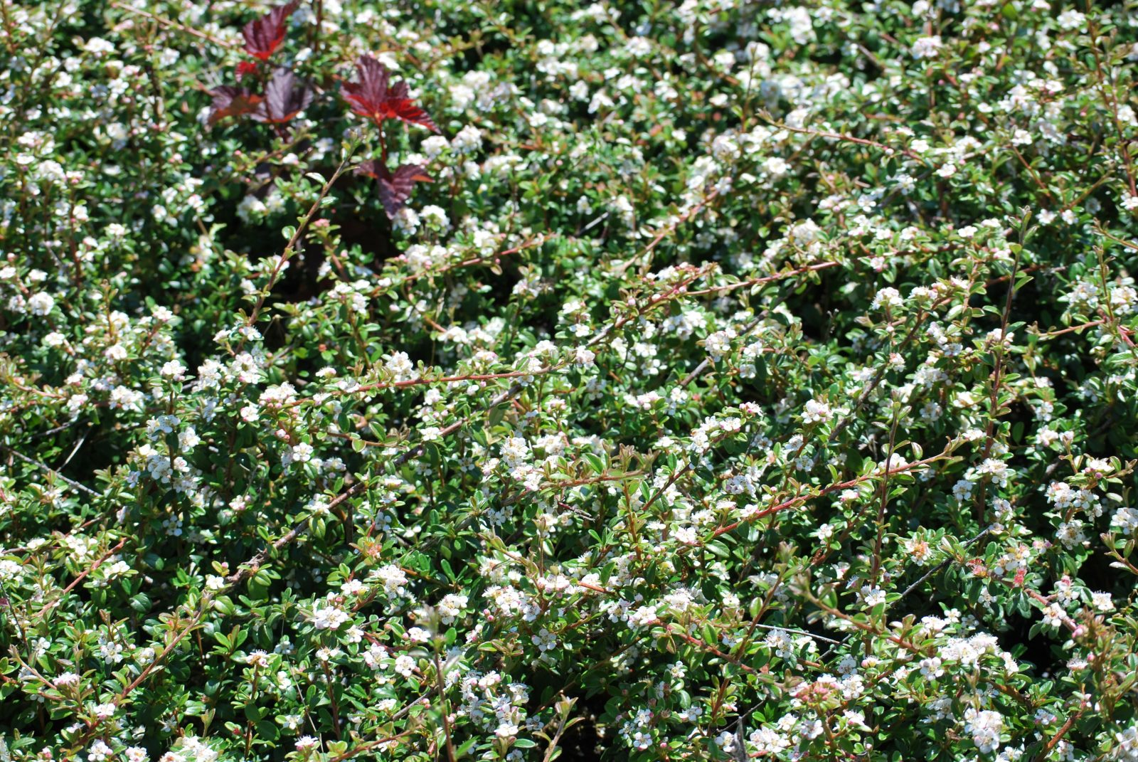 Cotoneaster Coral Beauty Emerald Plants