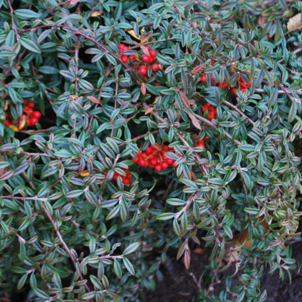 Cotoneaster Salicifolia Gnome