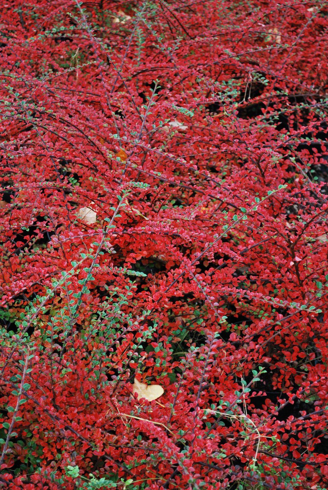 Cotoneaster Horizontalis | Emerald Plants