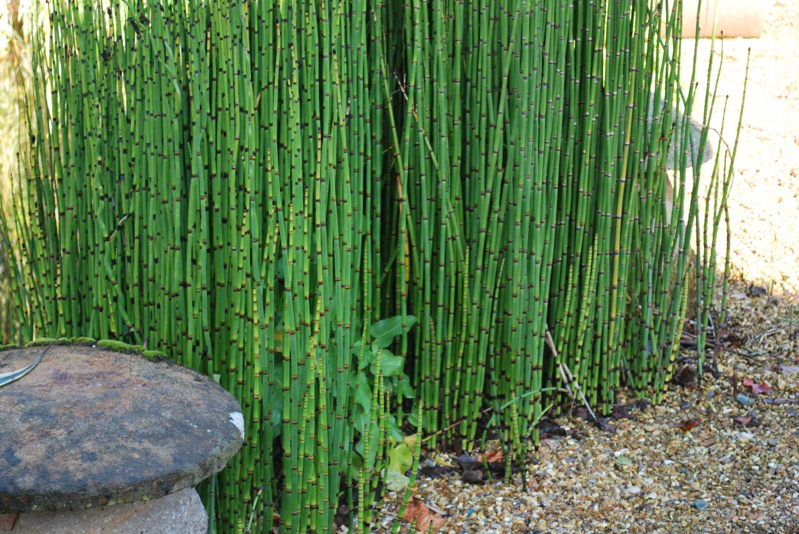 Equisetum camtschatcense emerald plants for Plantas altas de exterior