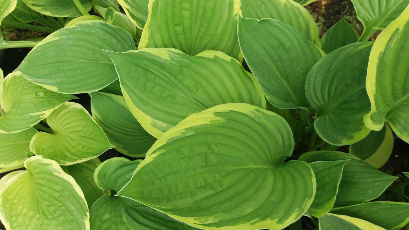 Hosta Aureomarginata Emerald Plants