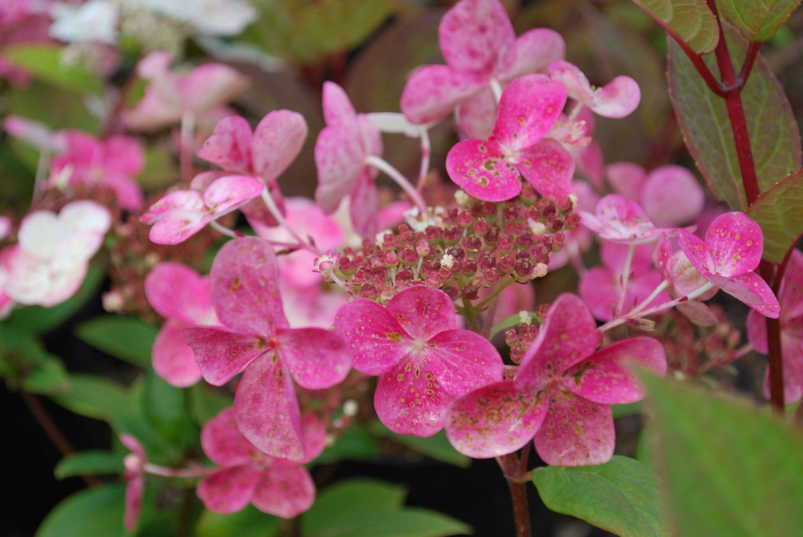 Hydrangea Paniculata Early Sensation Emerald Plants