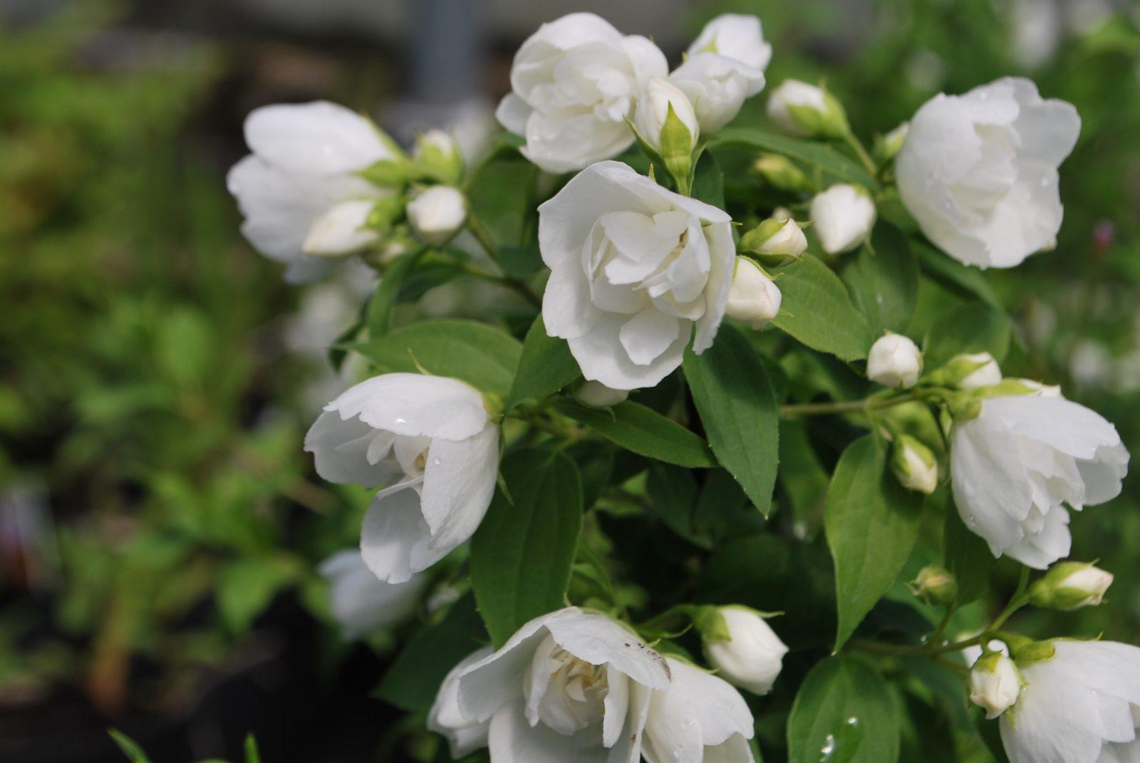 Philadelphus manteau d 39 hermine 39 emerald plants - Philadelphus manteau d hermine ...